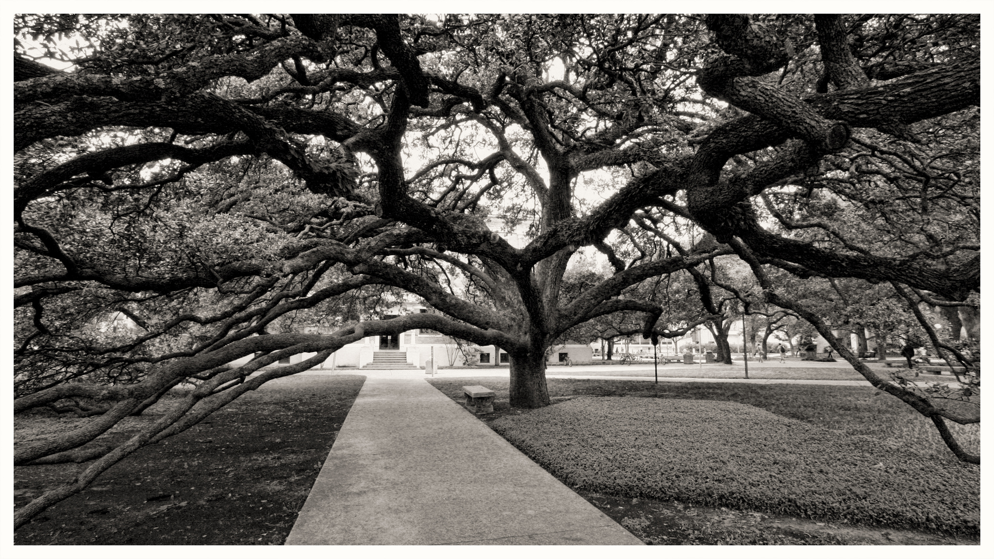 tamu-century-tree-by-eschipul