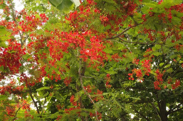 Red Flowering Tree